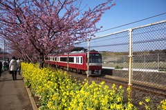 菜の花と河津桜と京急電鉄